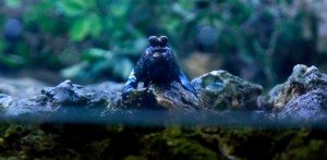 mudskipper1