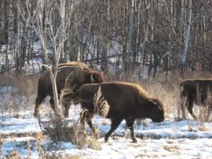 buffalo_snow2