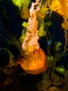 jellyfishdown