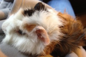 Patty the baby guinea pig