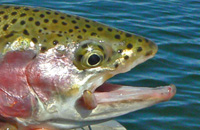 The head of a trout