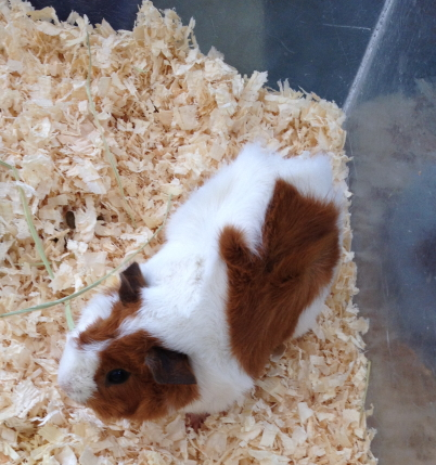 guinea pig in wood shavings