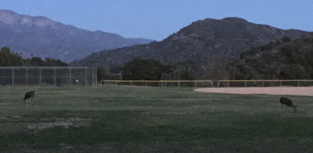deer in a baseball field