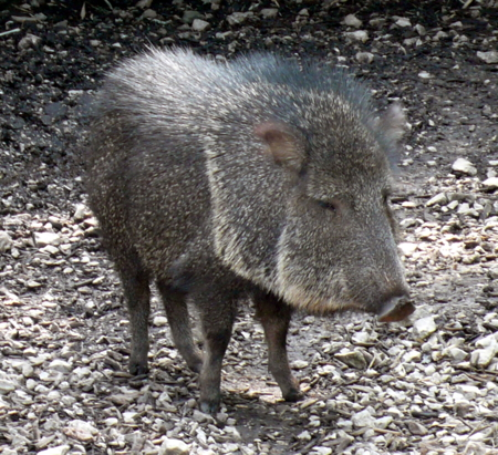peccary looks like a wild pig
